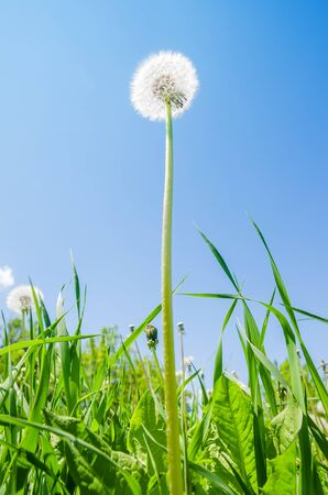 white dandelion in green grass and blue sky over it