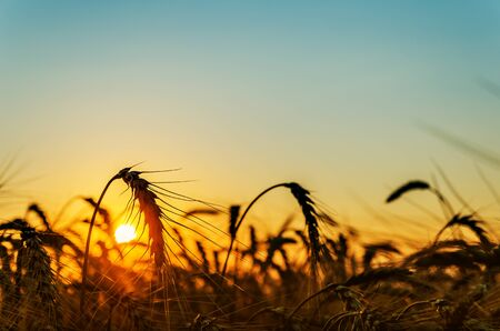 agriculture field with wheat in sunset