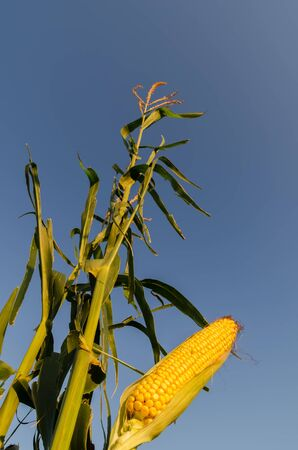 golden color maize on stem in sunset time