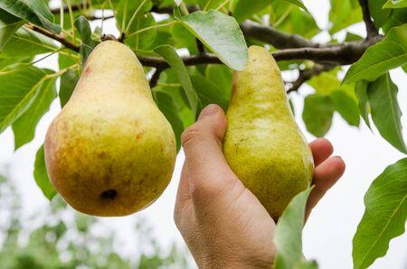 Pear harvest time. Hand holds fresh fruit 스톡 콘텐츠