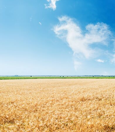 golden color agriculture field and blue sky with clouds