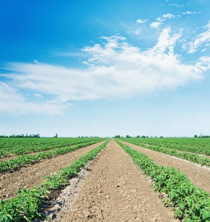 agriculture field with green tomatoes and blue sky with clouds 스톡 콘텐츠