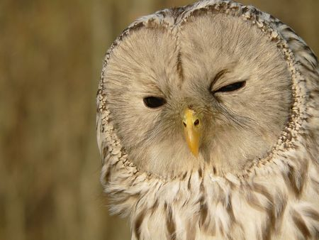 Portrait of Ural Owl (Strix uralensis).  Stock Photo - 2691548