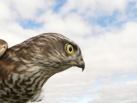 The sparrow-hawk (Accipiter nisus) on a sky background. photo
