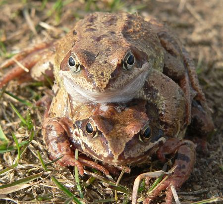 coitus: The two grass frogs in spring. Stock Photo