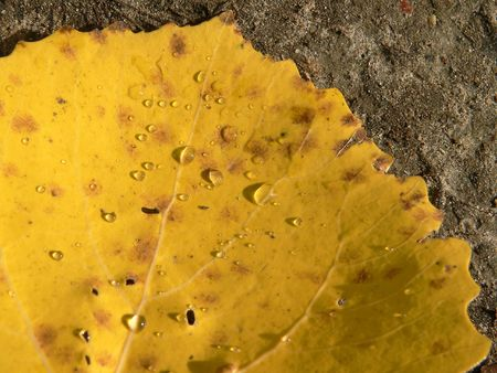 The fragment of the aspens leaf. photo