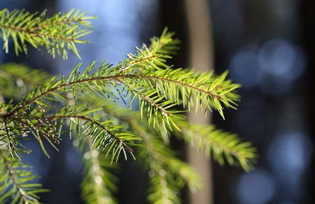 firry: The branch of a fir.