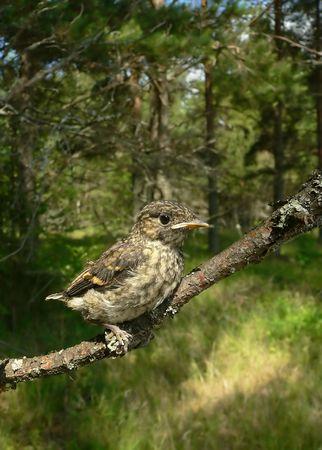 nestling: The nestling of a Pied Flycatcher. Stock Photo