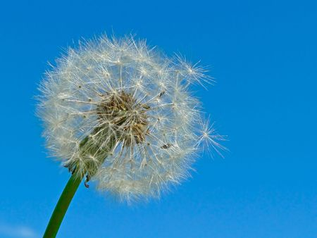 The dandelion against the blue sky background. Stock Photo - 5337649