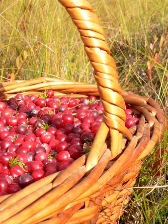 bacca: The basketful of the cranberry in autumn.