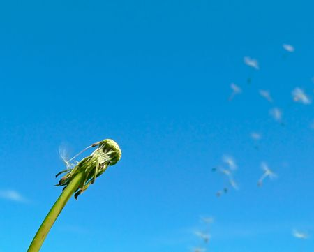 The dandelion against the blue sky background. Stock Photo - 5368059