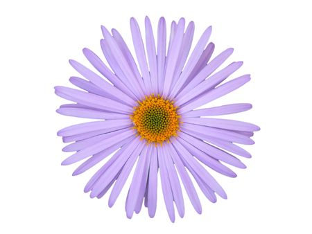 The Gerbera Daisy on a white background.
