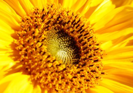The sunflower close-up in summer. photo