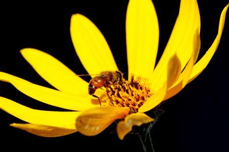 back lighting: The bee on a flower in back lighting.