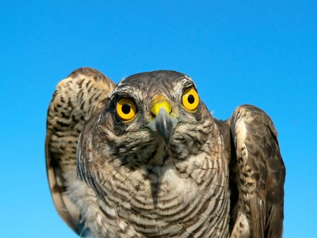 sparrowhawk: The young sparrow-hawk against sky background.