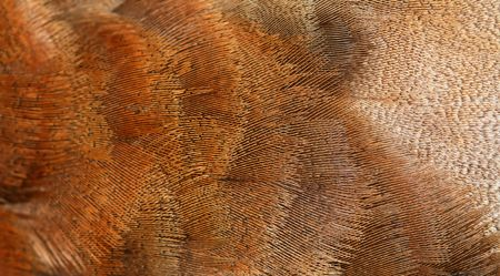 The fragment plumage of a duck. photo
