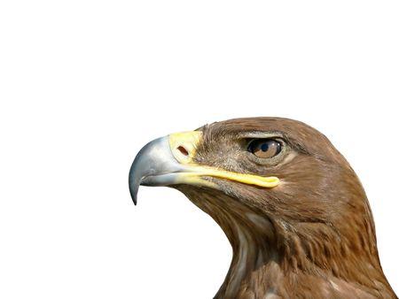 The portrait of Steppe Eagle half face.