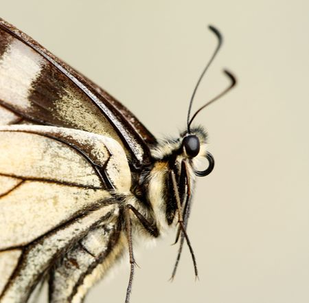 machaon: The machaon butterfly close-up.