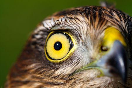 The portrait of sparrow-hawk (Accipiter nisus) close-up. Stock Photo - 5962847