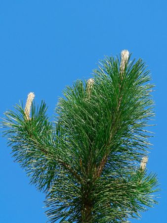 The conifer against blue sky background. photo