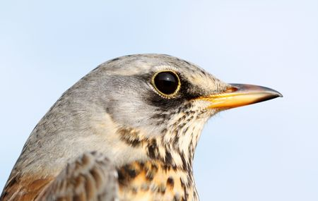 The fieldfare on a sky background. photo