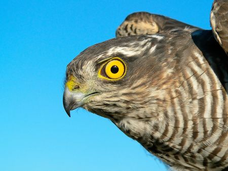 The sparrow-hawk (Accipiter nisus) on a sky background. Stock Photo - 6051880