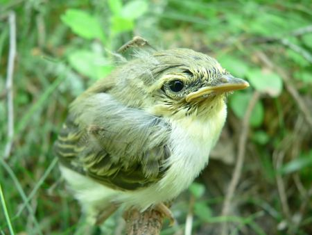 The nestling of a Willow-Warbler. Stock Photo - 6124340