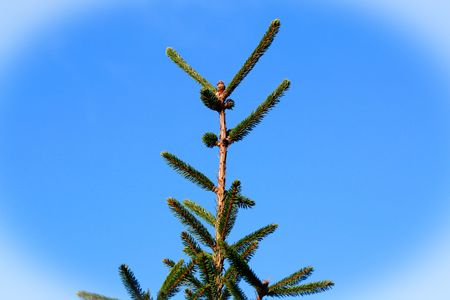 firry: The crown of the fir close up. Stock Photo