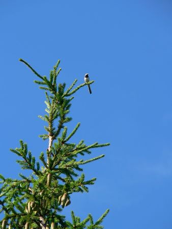 crown spire: Wagtail on a top of fir. Stock Photo