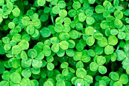 Clover is symbol of Saint Patrick's Day in Ireland. Stock Photo - 6317757