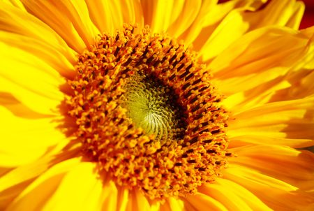 sunflowerseed: The sunflower close-up in summer.