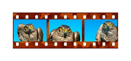 sparrowhawk: The frame in the form of photographic film with image of sparrow-hawk.