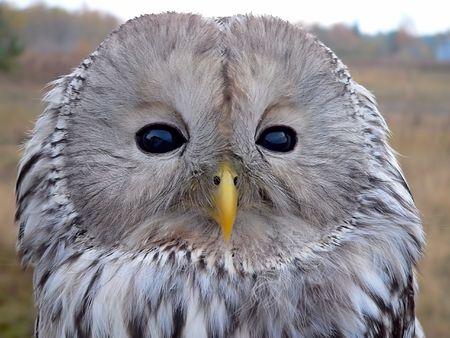Portrait of Ural Owl (Strix uralensis). Stock Photo - 6372161