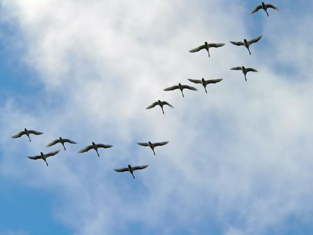 Three swans to fly on a sky background. Stock Photo
