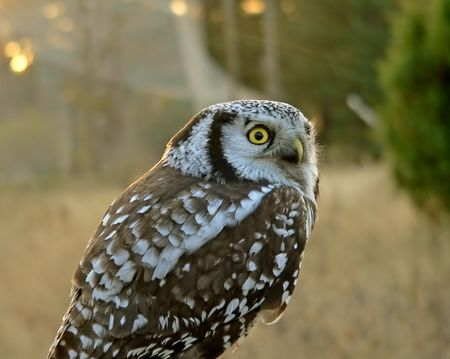 The portrait of the hawk owl. photo