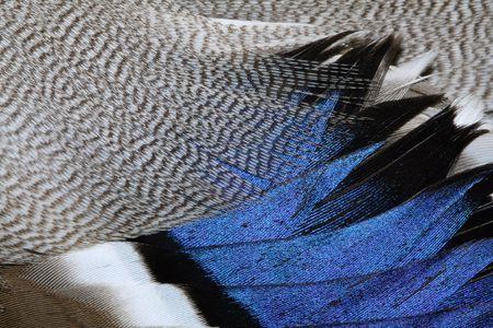piume: Il piumaggio frammento di un'anatra.