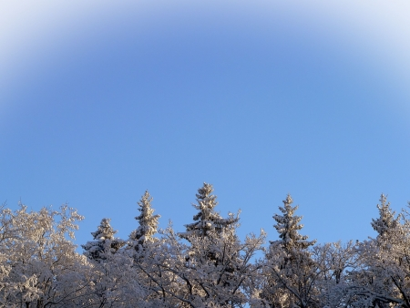 The tops of trees against blue sky in winter  photo