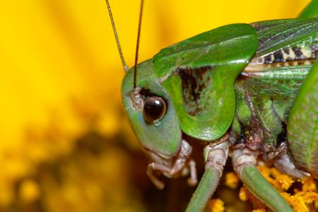 microcosm: Microcosm - grasshopper on a sunflower close up.