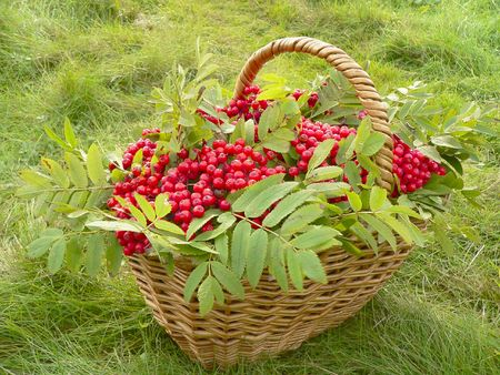 basketful: The basketful of the ashberry in autumn.