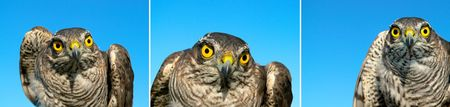 Collage from sparrow-hawk on a sky background. Stock Photo - 6755398