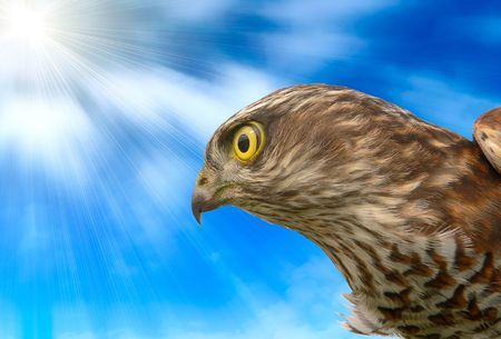 The sparrow-hawk on a sky background. photo
