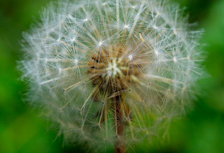 The dandelion close-up in summer. Stock Photo - 7166751