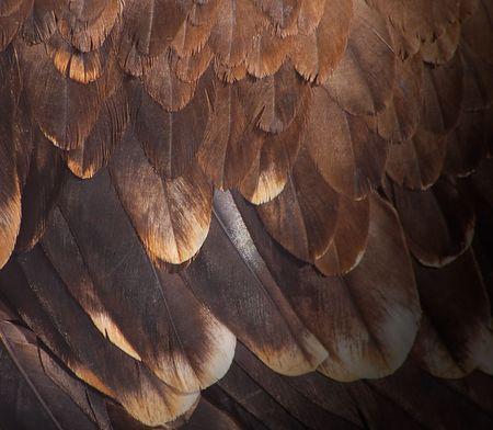 piume: Il piumaggio del frammento di un aquila reale. Archivio Fotografico