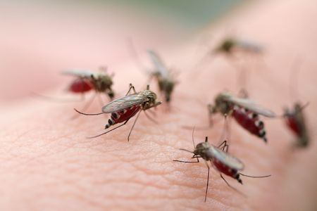 malaria: Many mosquitos on a human skin.