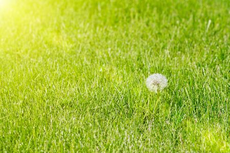 outdoor living: The single dandelion on a meadow. Stock Photo
