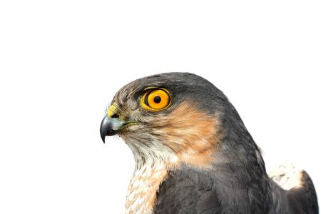 The adult sparrow-hawk on white background. photo