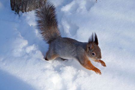The squirrel run on a snow. Zdjęcie Seryjne