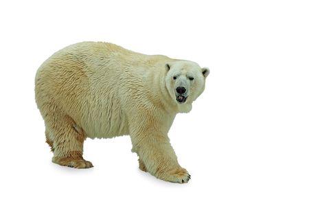 シロクマは、白い背景の上。 写真素材