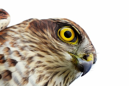 sparrowhawk: The sparrow-hawk on a white background. Stock Photo