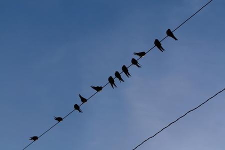 De jonge gemeenschappelijk zwaluwen zitten op een lijn. Stockfoto - 8522898